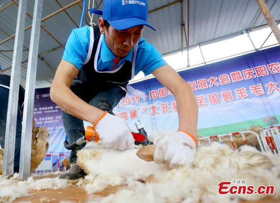 32 compete in Gansu sheep shearing contest