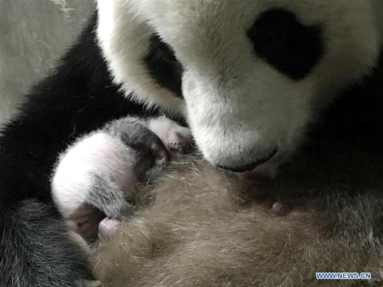New captive panda cub born in China
