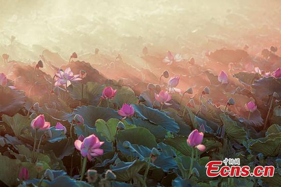 Lotus flowers bloom in Bosten Lake