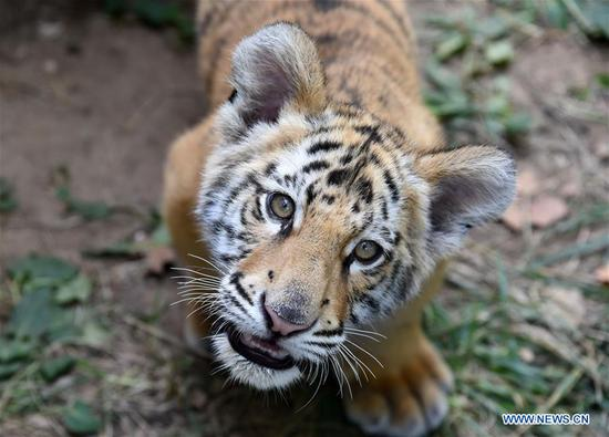 Bengal tiger cub in Jinan, E China's Shandong